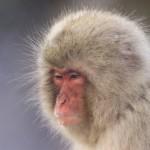 Namensgeber Makakenaffe